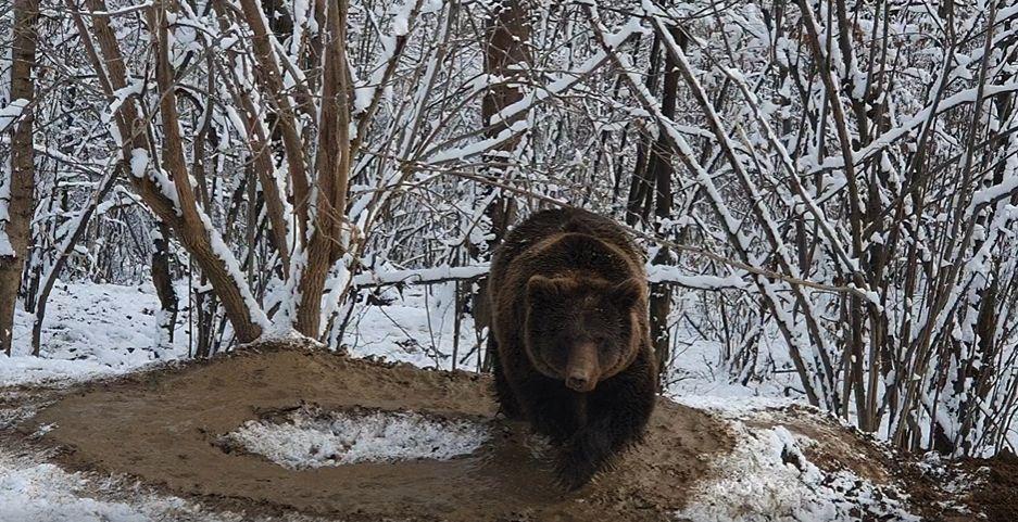 """Imagini sfâșietoare:""""Urșii nu sunt bestii fără suflet! Și ei suferă ca și noi!"""". Un urs care a stat 20 de ani în cușcă se învârte în cerc, deși este liber"""